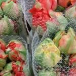 Franz. Tulpe gefüllt