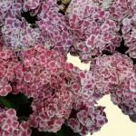 Hortensie - bicolor