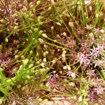 Allium-Schubertii