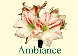 Rieger-Botanik_Amaryllis-Ambiance