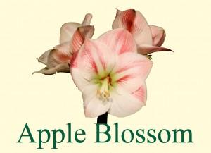 Rieger-Botanik_Amaryllis-Apple-Blossom