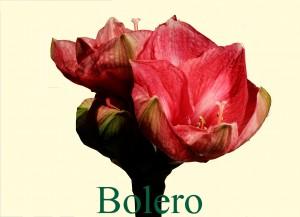 Rieger-Botanik_Amaryllis-Bolero