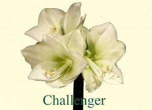 Rieger-Botanik_Amaryllis-Challenger