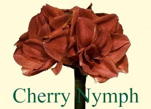 Rieger-Botanik_Amaryllis-Cherry-Nymph