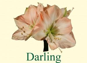 Rieger-Botanik_Amaryllis-Darling