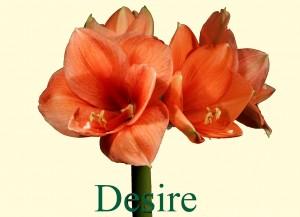 Rieger-Botanik_Amaryllis-Desire