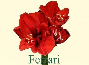 Rieger-Botanik_Amaryllis-Ferrari