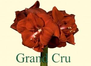 Rieger-Botanik_Amaryllis-Grand-Cru