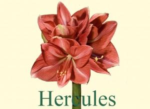 Rieger-Botanik_Amaryllis-Hercules
