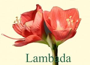 Rieger-Botanik_Amaryllis-Lambada
