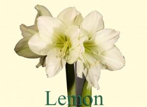Rieger-Botanik_Amaryllis-Lemon