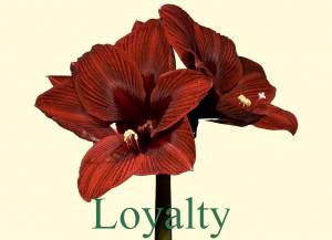 Rieger-Botanik_Amaryllis-Loyalty