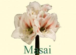 Rieger-Botanik_Amaryllis-Masai