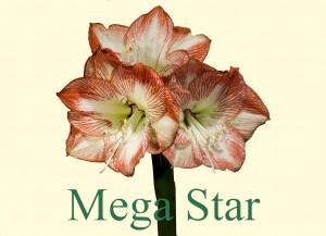 Rieger-Botanik_Amaryllis-Mega-Star