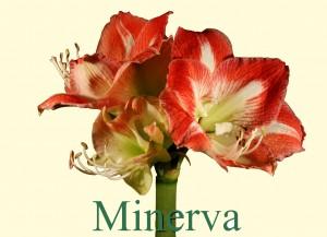 Rieger-Botanik_Amaryllis-Minerva