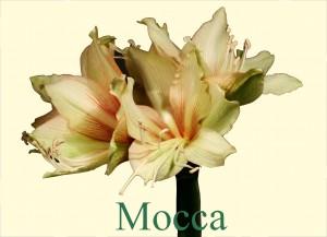 Rieger-Botanik_Amaryllis-Mocca