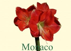 Rieger-Botanik_Amaryllis-Monaco