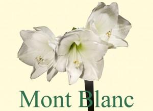 Rieger-Botanik_Amaryllis-Mont-Blanc