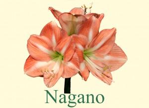 Rieger-Botanik_Amaryllis-Nagano
