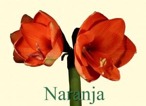 Rieger-Botanik_Amaryllis-Naranja