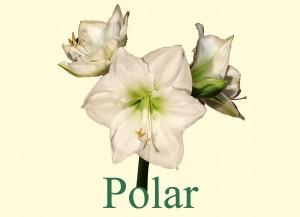 Rieger-Botanik_Amaryllis-Polar