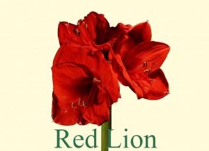 Rieger-Botanik_Amaryllis-Red-Lion