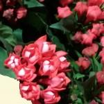 Bouvardie - rosa