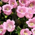 Campanula-rosa