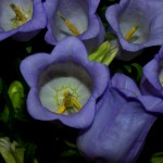 Campanula-blau