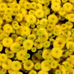 Chrys.-Santini-Ponpon-gelb