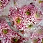 Chrysanthemen-Anastasia-rose