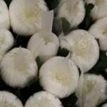 Chrysanthemen-Anastasia-weiss