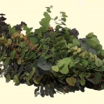 Eucalyptus-Cinerea_Herbst