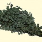 Eucalyptus-Gunny