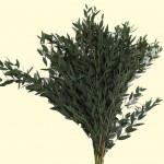 Eucalyptus-Parvifolia