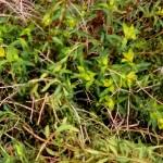 Euphorbia-spinosa