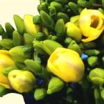 Freesien - gelb