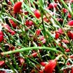 Ginster-Beeren-rot