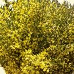 Ginster blühend - gelb