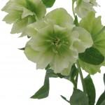 Helleborus-blühend-weiß