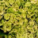 Hortensien-grün