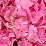Hortensien-rosa