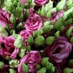 Lysianthus-rosa