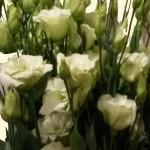 Lysianthus - creme-weiß