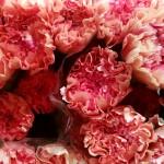 Nelken-apricot-rose