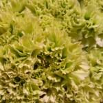 Nelken-grün