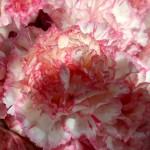 Nelken-weiß-rosa