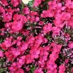 Phlox - rosa
