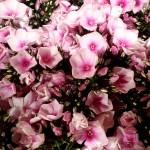Phlox-rose