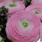 Ranunkel_Cloni-rosa